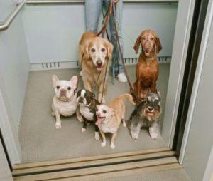 ¿Pueden los perros viajar en ascensor?